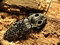 Eyed Click Beetle - Flickr - treegrow (1).jpg