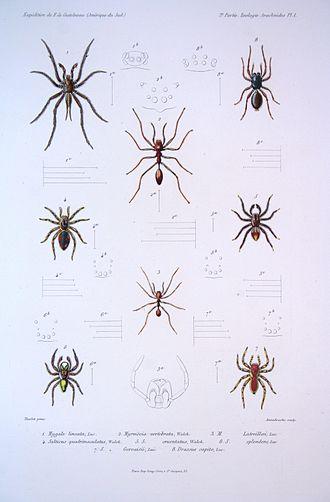 Corinna (spider) - 8: Drassus capito Luc. = Corinna capito (Lucas, 1856)