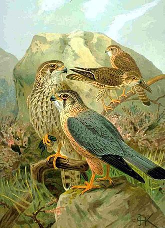 Merlin (bird) - European subspecies aesalon. Adult male (front) and female (behind)