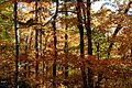 Fall-trees-forest - West Virginia - ForestWander.jpg