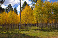 Fall colors 2010 - Yellow Aspen (5057065469).jpg