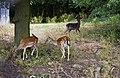 Fallow Deer - geograph.org.uk - 1987889.jpg