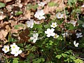 False rue anemone (Enemion biternatum).jpg