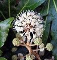 Fatsia japonica Portland Oregon 01c.jpg