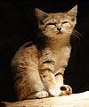 Felis margarita 3.jpg