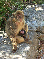 Female Barbary Macaque feeding her young at Mediterranean Steps, on the Rock of Gibraltar.