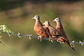 Female ruddy ground doves.JPG
