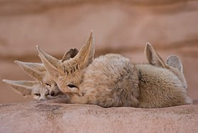 Fennec Fox Peek.jpg