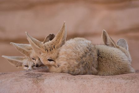 The fennec fox or fennec is a small nocturnal fox found in the Sahara of North Africa