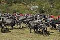 Feria de ganado en Villayuso de Cieza.JPG