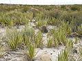 Ferocactus hamatacanthus and Agave lechuguilla (5676873218).jpg
