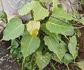 Ficus - I'm here (3) - Ficus religiosa under polyethylene sheets.jpg