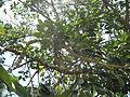 Ficus Geniculata V. Abnormalis3.JPG