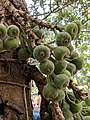 Ficus auriculata 108.jpg