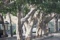 Ficus benjamina-2622.jpg