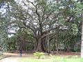 Ficus macrophylla (Palermo).JPG