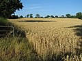 Field of wheat near Newborough, Staffordshire. - geograph.org.uk - 214804.jpg