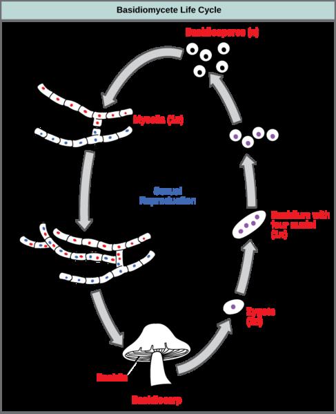 siklus perkembangbiakan reproduksi jamur Basidiomycota