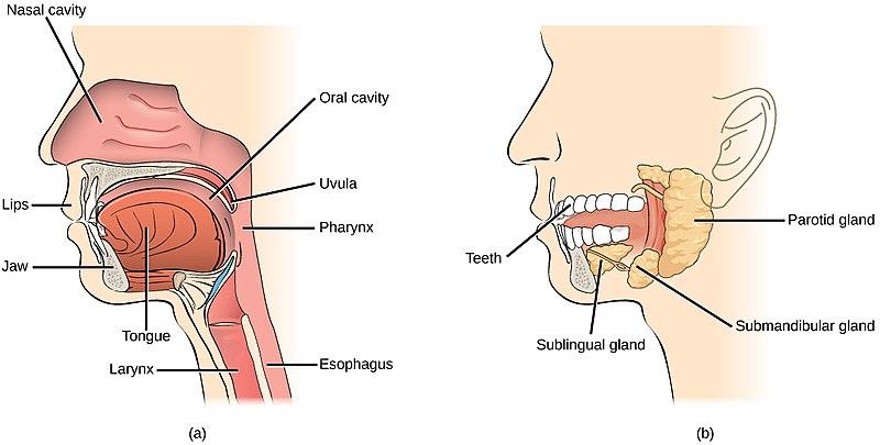 anotomi rongga mulut dan kelenjar ludah