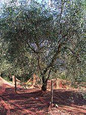 Cultivar provenzale Cailletier