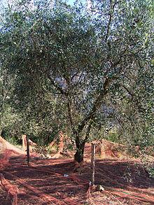Olive de nice wikip dia - La maison de l olive nice ...
