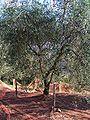 Filet Olive de Nice.jpg