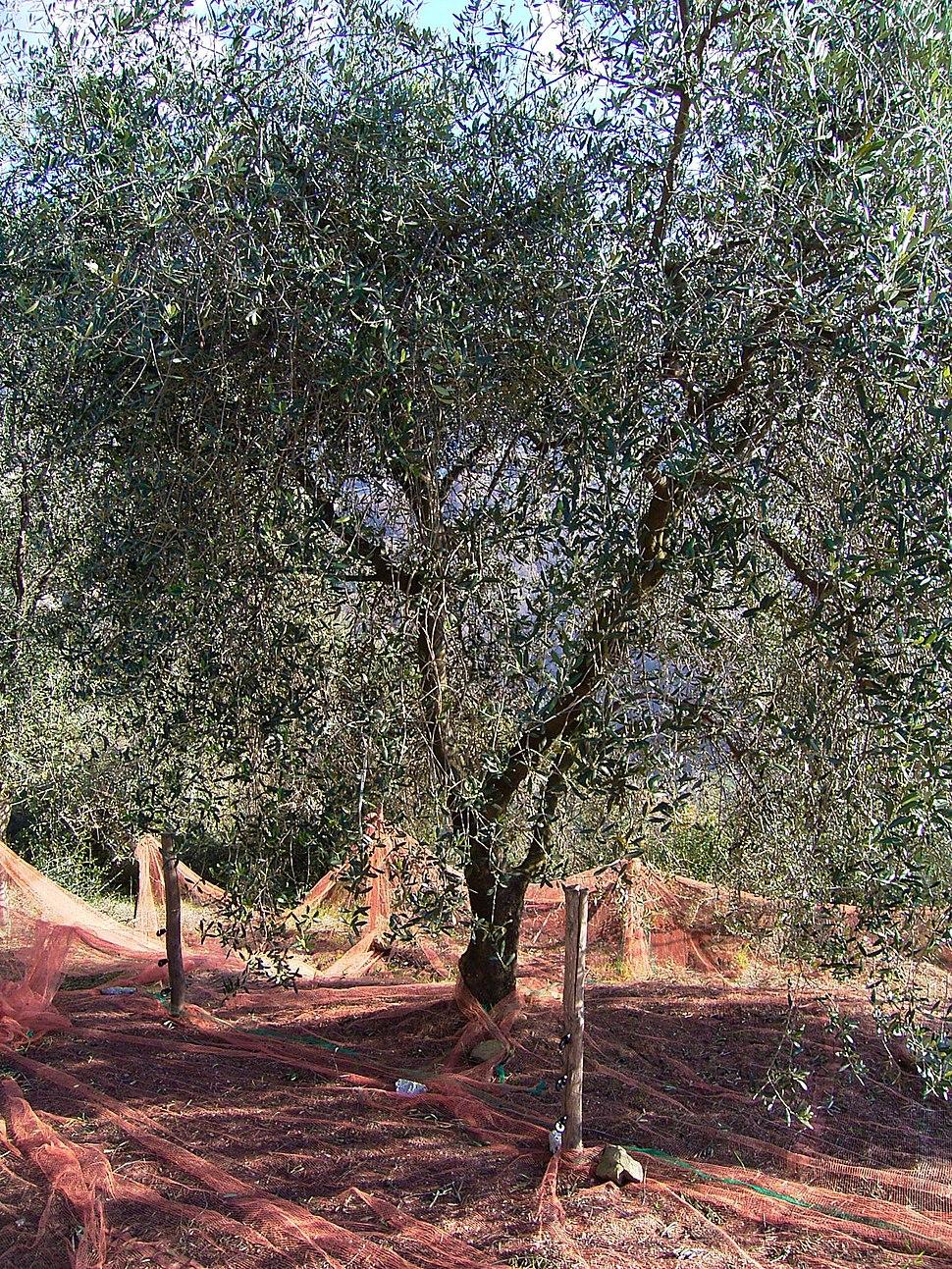 Filet Olive de Nice