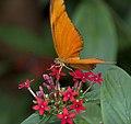 Flame Butterfly 3 (4867260268).jpg