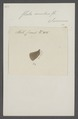 Flata - Print - Iconographia Zoologica - Special Collections University of Amsterdam - UBAINV0274 042 03 0011.tif