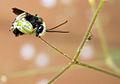 Flickr - Furryscaly - Eucerine Bee.jpg