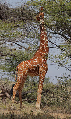 meaning of giraffe