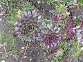 Flickr - brewbooks - Hens and Chicks - Our Garden - 2003.jpg
