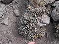 Flickr - brewbooks - Mount Rose alpine plant, unknown (1).jpg