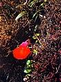 Flor Utricularia quelchii lentibulariaceae.jpg