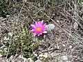 """Flor de Biznaga """"Viejito"""", San Juanito, San Antonio de las Alazanas, Arteaga, Coahuila - panoramio.jpg"""