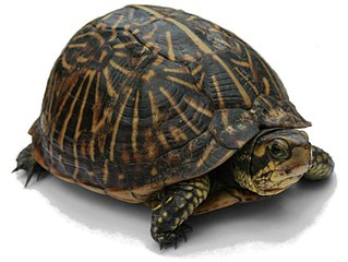Turtle Order of reptiles