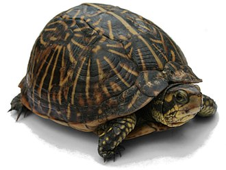 Turtle - Florida box turtle (Terrapene carolina)