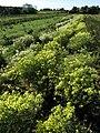 Flowering Cauliflower - geograph.org.uk - 584759.jpg