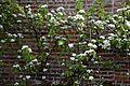 Flowering pear tree in Victorian Walled Garden of Quex House Birchington Kent England.jpg