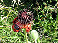 Flowers, Vayots Dzor 01.jpg