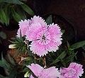 Flowers - Uncategorised Garden plants 151.JPG