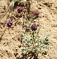 Flowers in Joshua Tree National Park (3433040193).jpg