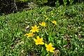 Flowers of Jablanica Mountain, Struga 04.jpg