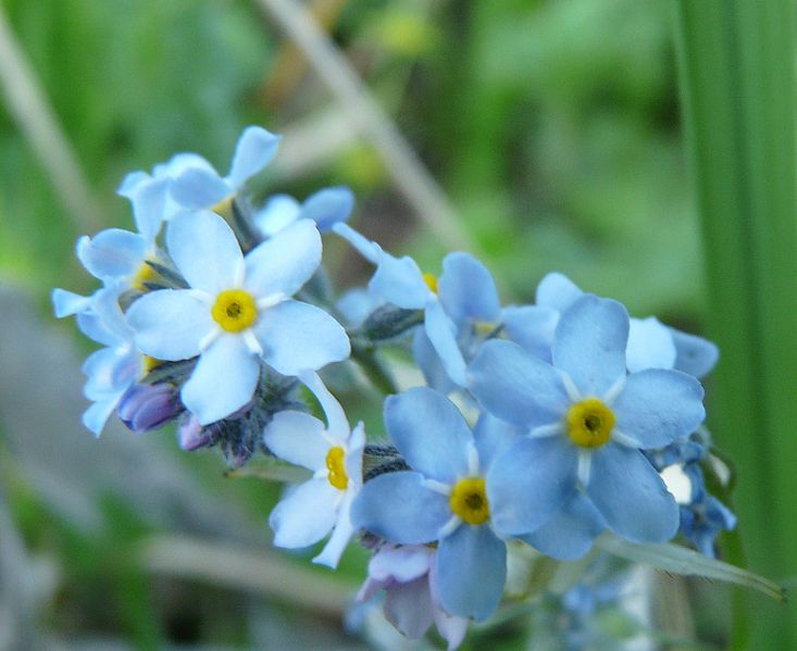 File:Forget-me-not in Pelister.jpg