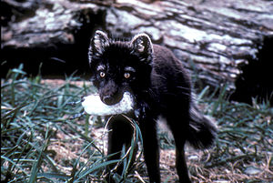 Bird conservation - Arctic foxes introduced to the Aleutian Islands devastated populations of auks; here a least auklet has been taken.