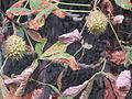Früchte einer Rosskastanie, Ostrower Platz, Cottbus.jpg