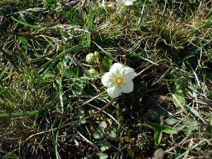 Fragaria viridis - Image: Fragaria viridis