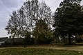 Francis Land House Sycamore tree LR.jpg