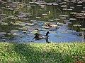 Frango de Água(Gallinula Chloropus) e Ananaí(Amazonetta Brasiliensis) - Jardim Botânico de São Paulo - panoramio.jpg