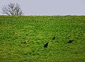 Freilaufende Hühner Hang Ottingen Dezember 2011.JPG